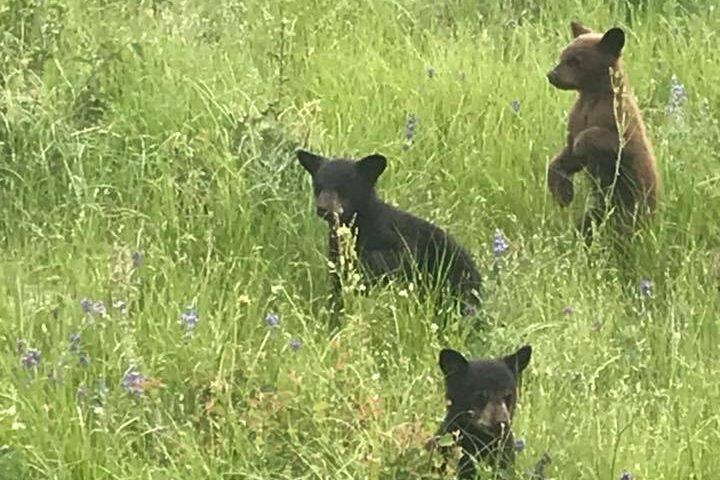 Bears at the National Bison Range