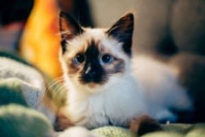 RV Cat